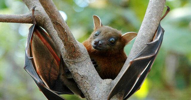 خفاشها باز دردسرساز شدند / کشف ویروس جدید!