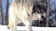 حضور گرگ ها در شهر سقز کردستان+عکس
