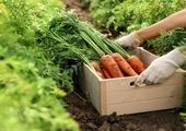 قیمت هویج کاهش خواهد یافت/صبور باشید