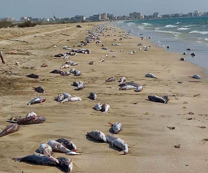 ساحل جاسک پر از لاشه گربه ماهی شد! / علت چیست؟