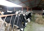 دامداران در فروش هر کیلو شیر چقدر ضرر می کنند؟