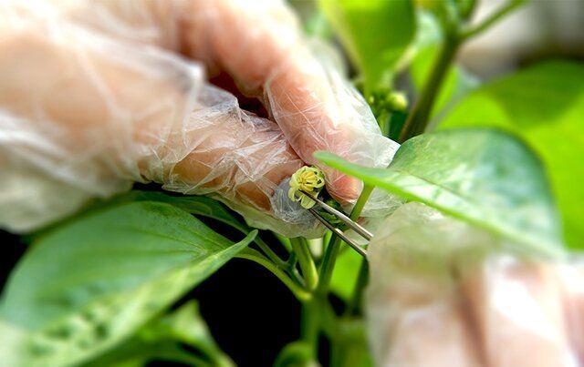 جهاد دانشگاهی بذرهای هیبرید تولید میکند