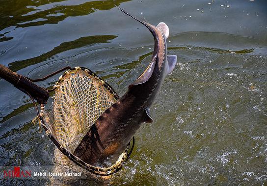 ماهی-خاویاری (12)