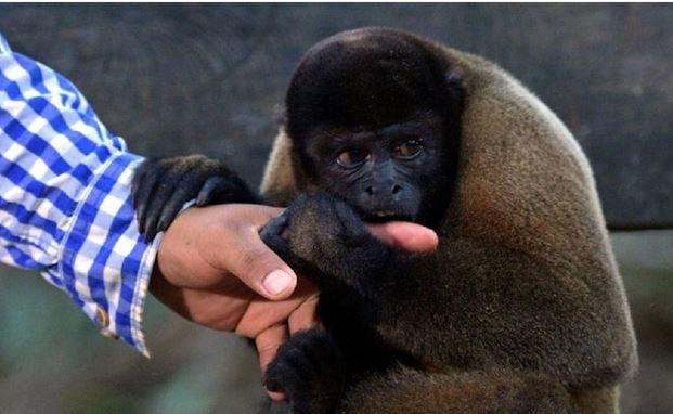 غذا دادن به میمون حادثه آفرید! + عکس