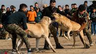 تصاویر/ قمار در مراسم سگ کُشی !