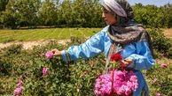 تصاویر/ برداشت گل محمدی از «دهکده گل» بجنورد