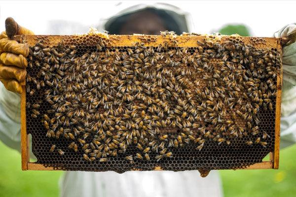 کَنه ای که با جان زنبورها افتاده است!