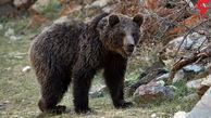 خرس های بزرگ آرامش اینجا را به هم زدند! + عکس