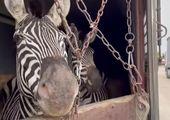 شامپانزه ها برای باغ وحش صفادشت درس عبرت نشده بود!