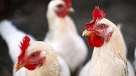 بررسی وضعیت صنعت مرغدارای در یک سال اخیر