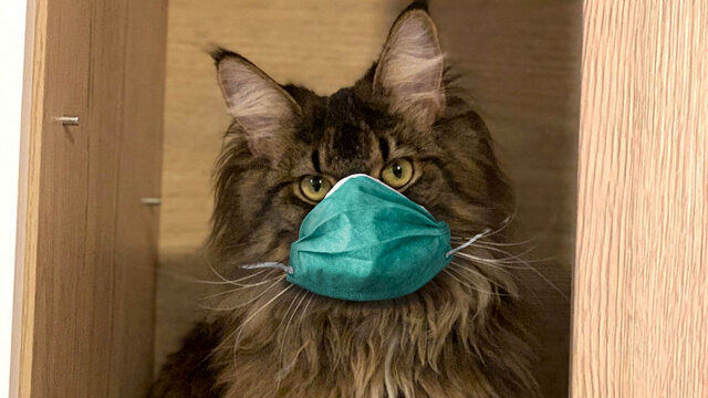 احتمال ابتلا گربه های خانگی به کرونا