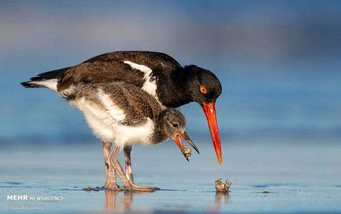 تصاویر/ فینالیستهای مسابقه عکاسی از پرندگان