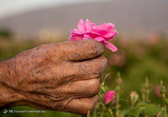 گل-گلاب (6)
