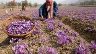 صادرات زعفران از سر گرفته شد/ افزایش قیمت در بازار