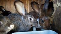 بازار سودآور خرگوش گوشتی