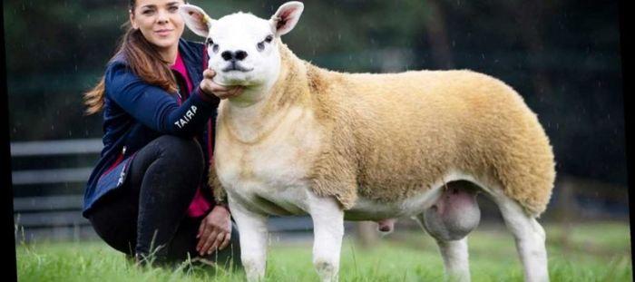 گوسفندی با ۳۵ کیلوگرم پشم! + فیلم