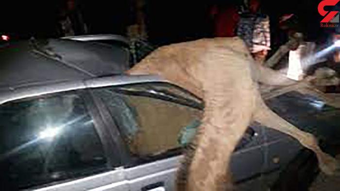 برخورد مرگبار پژو با شتر ! + عکس