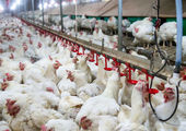 تشکیل کمیته تخصصی ساماندهی بازار مرغ و تخممرغ
